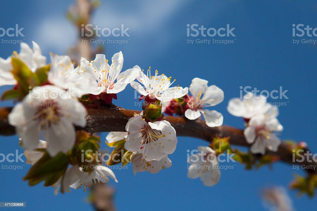 Branch of a blossoming tree in springtime. stock photo