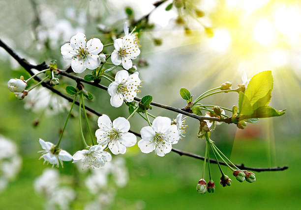 branch of a blossoming tree - blossom stock pictures, royalty-free photos & images