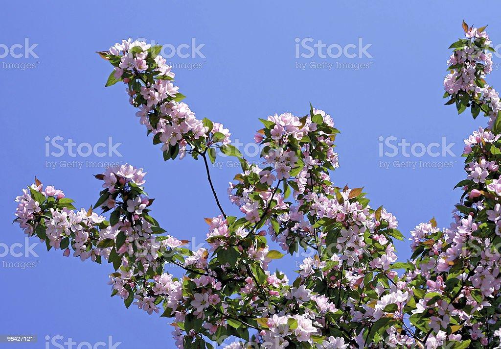 지점 선으로나 blossoming 트리 royalty-free 스톡 사진