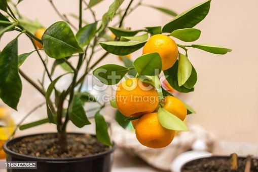 Fruits and branches with leaves of an orange tree isolated against a white background.