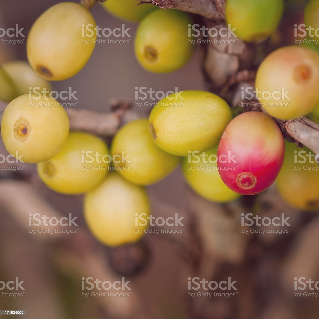 Branch of a coffee tree with ripe fruits - I royalty-free stock photo