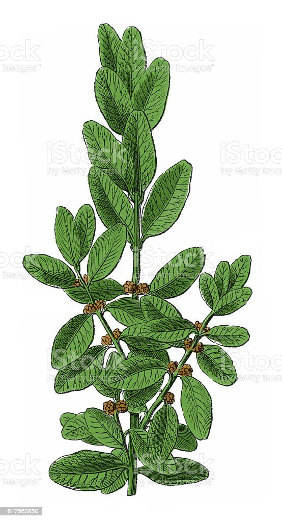 Branch of a common box (antique botanical engraving) stock photo