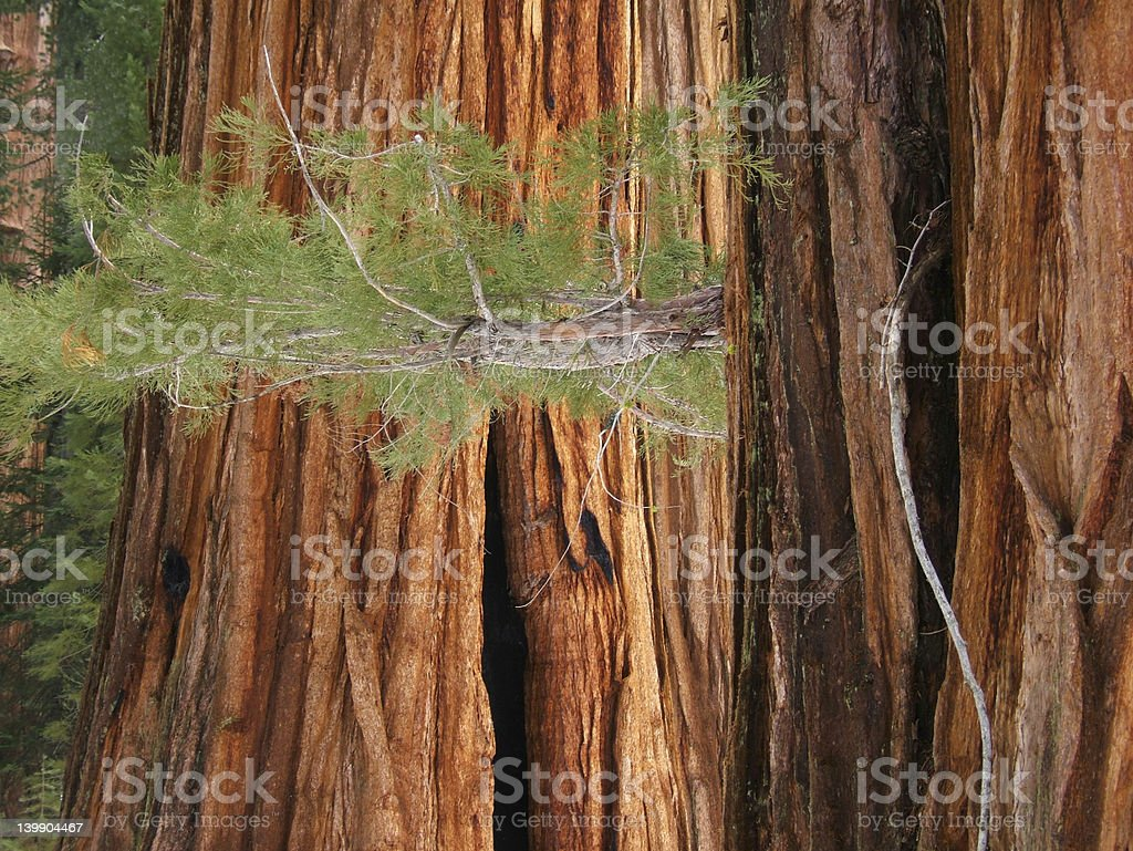 Branch of a Giant Sequoia stock photo