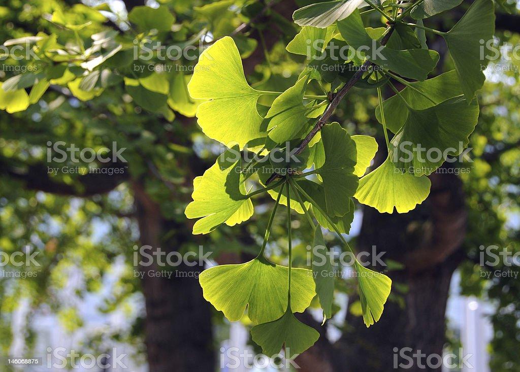 A branch of a healthy ginkgo biloba royalty-free stock photo