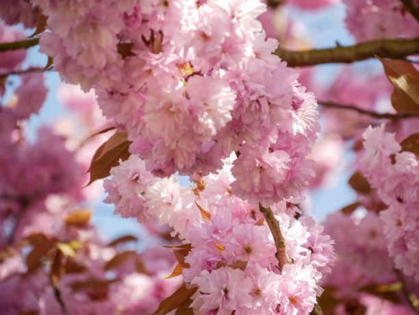 Zweig der eine japanische Blüte CherrJapanese blühen Kirsche - Prunus Serrulata - in duftig - Prunus serrulata – Foto