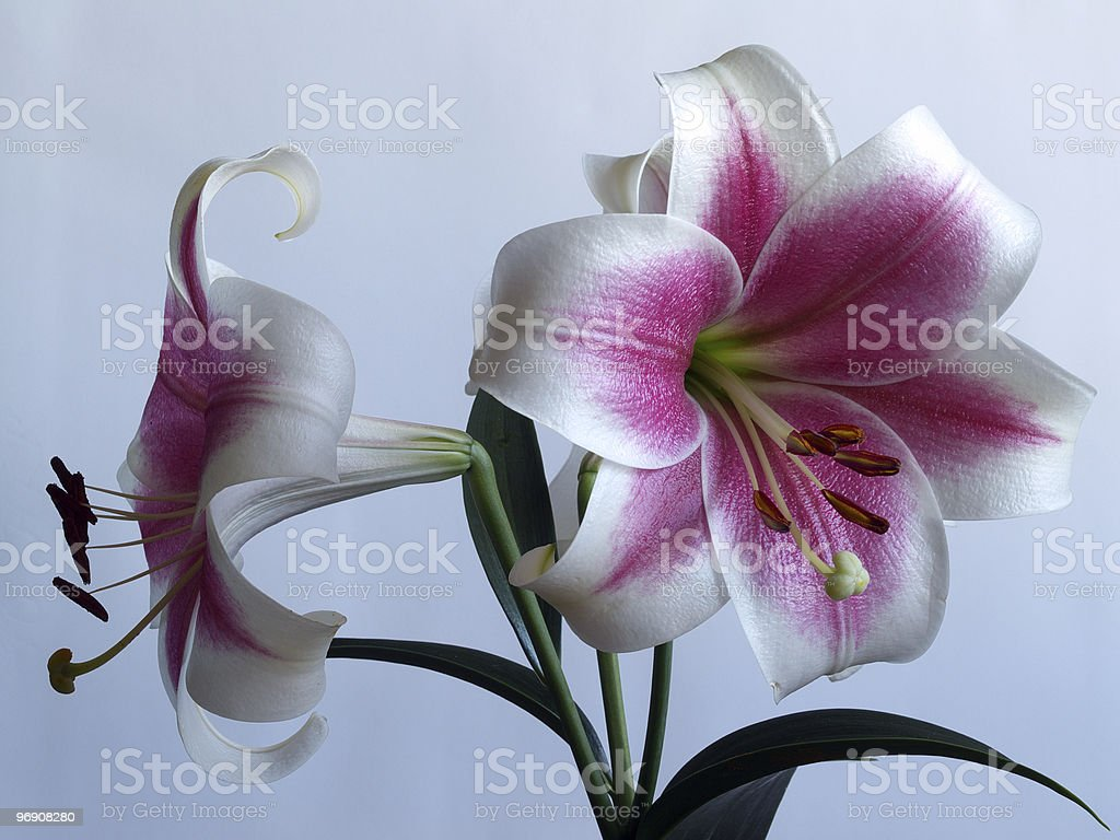 Branch of a lilies royalty-free stock photo