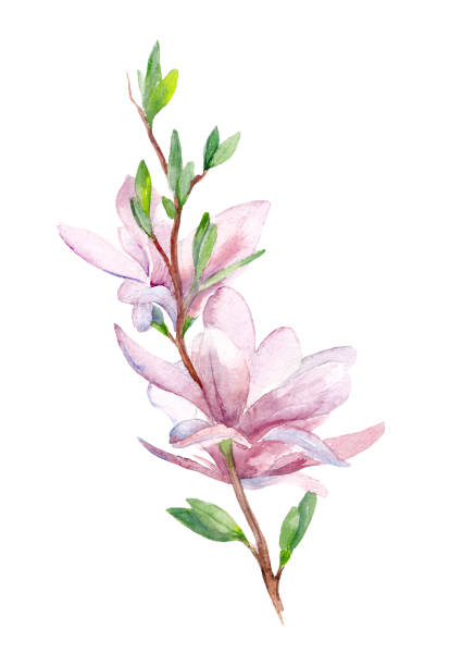 branch of a magnolia with flowers watercolor hand drawn stock photo