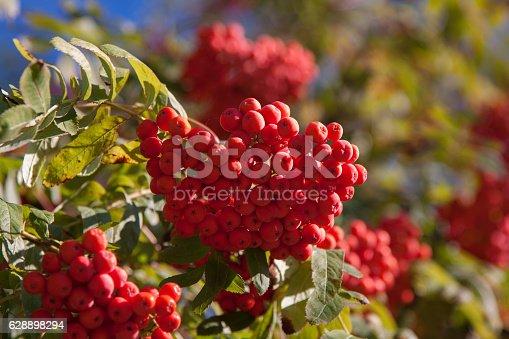 istock Branch of a mountain ash 628898294