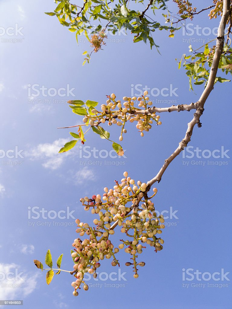 Branch of a pistachio tree royalty-free stock photo