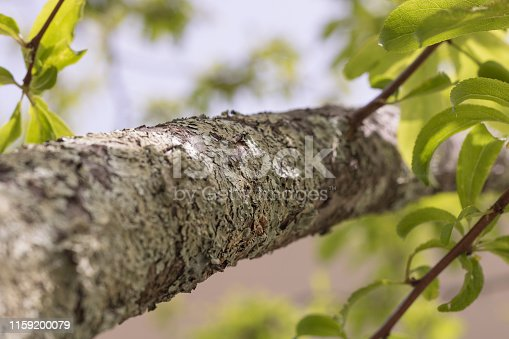 branch of a plum tree, covered with foliose lichen, growing on the bark. view up to the tree top with green leaves and the clear blue sky on a sunny day. selective focus.