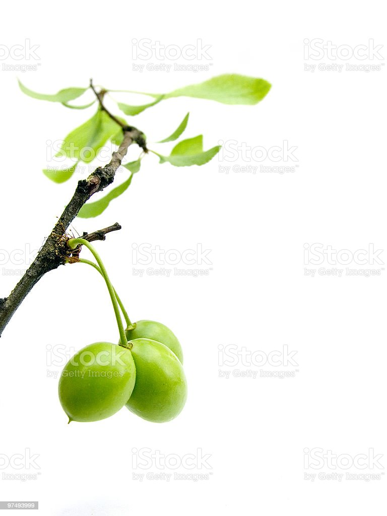 Branch of a plum tree royalty-free stock photo