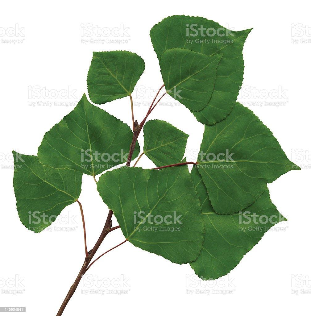 branch of a poplar royalty-free stock photo