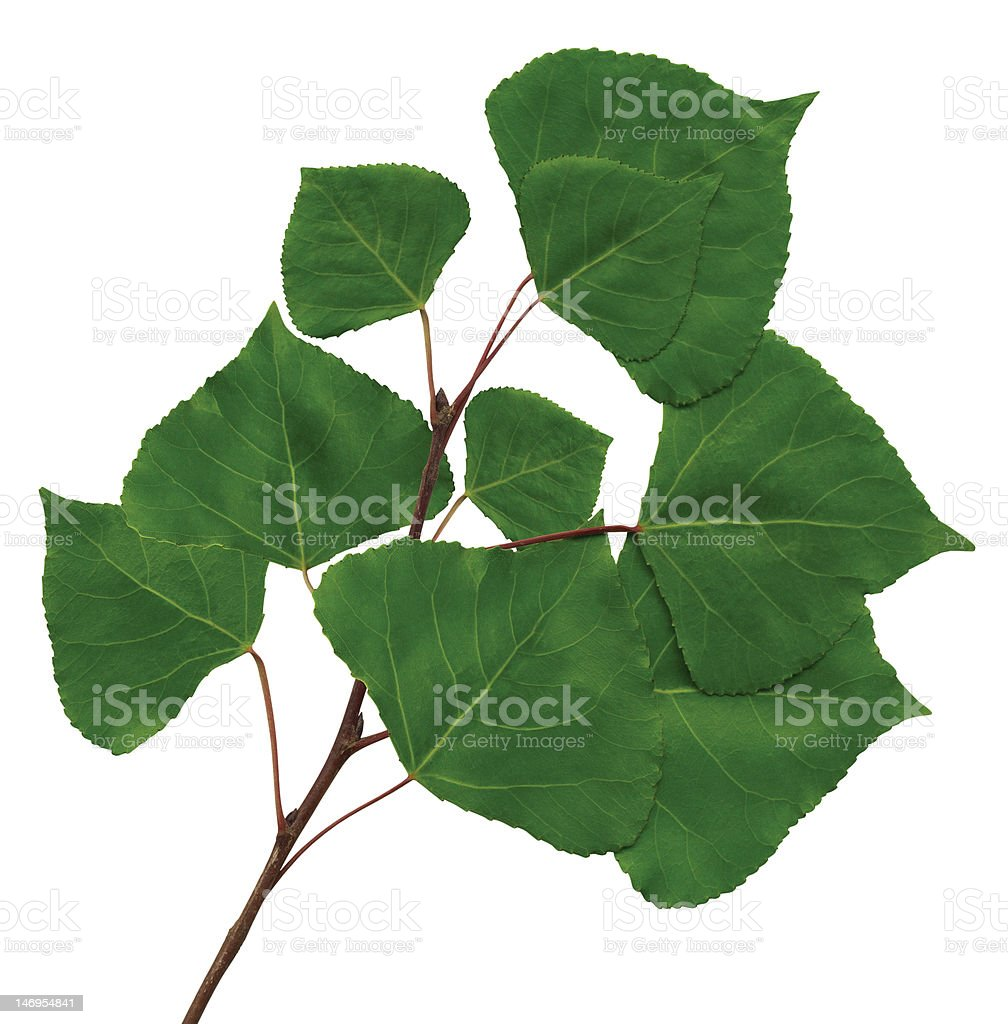 branch of a poplar stock photo