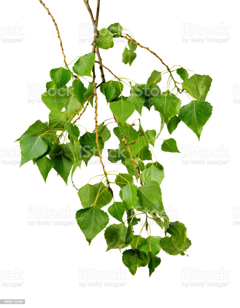 Branch of a poplar with leaves, isolated on a white background without a shadow. stock photo