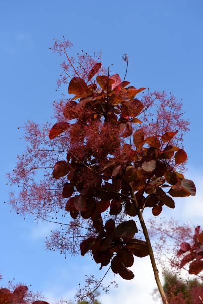ein zweig von einem roten rauch busch. - perückenstrauch stock-fotos und bilder