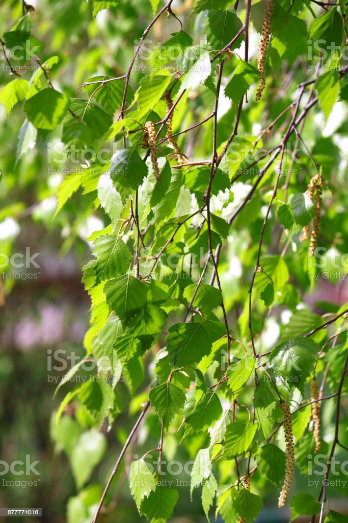 branch of a spring birch tree stock photo