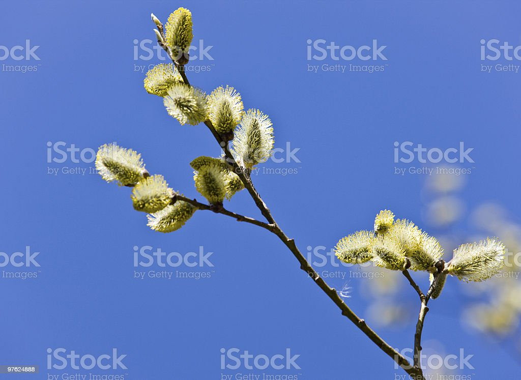 Branch of a spring willow royalty-free stock photo