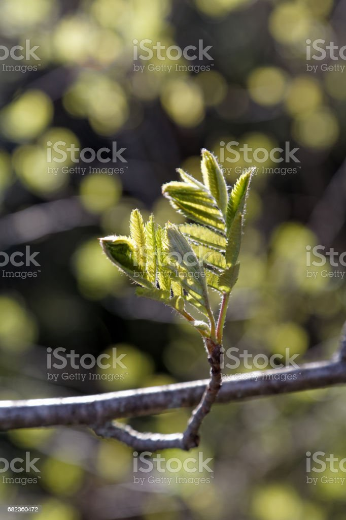 Branch of a tree with blossoming flatteries foto stock royalty-free