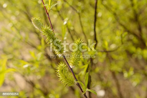 istock branch of a willow with fluffy buds on a clear sunny spring day 889956054