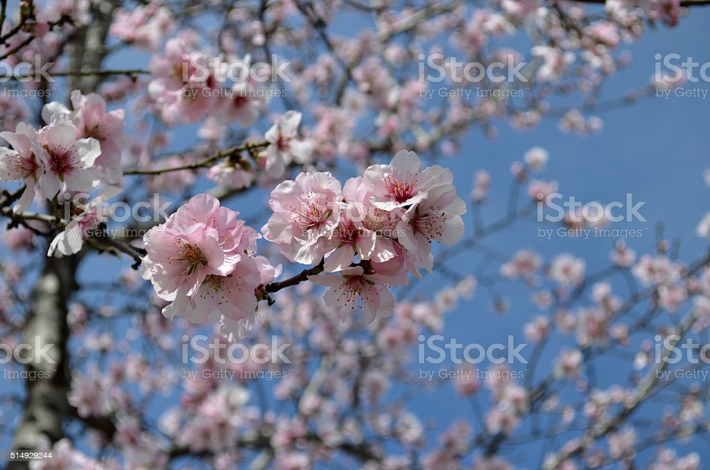 branch of almond blossom stock photo