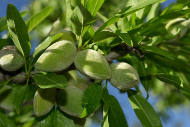branch of almond tree with green almonds stock photo