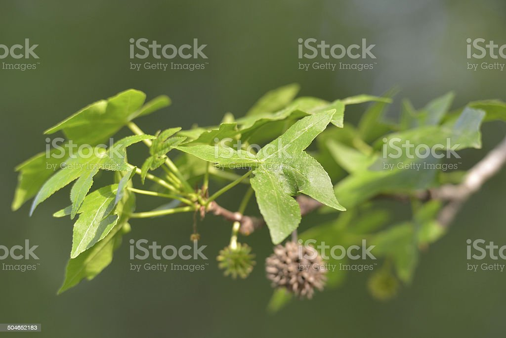 Branch of amber tree stock photo