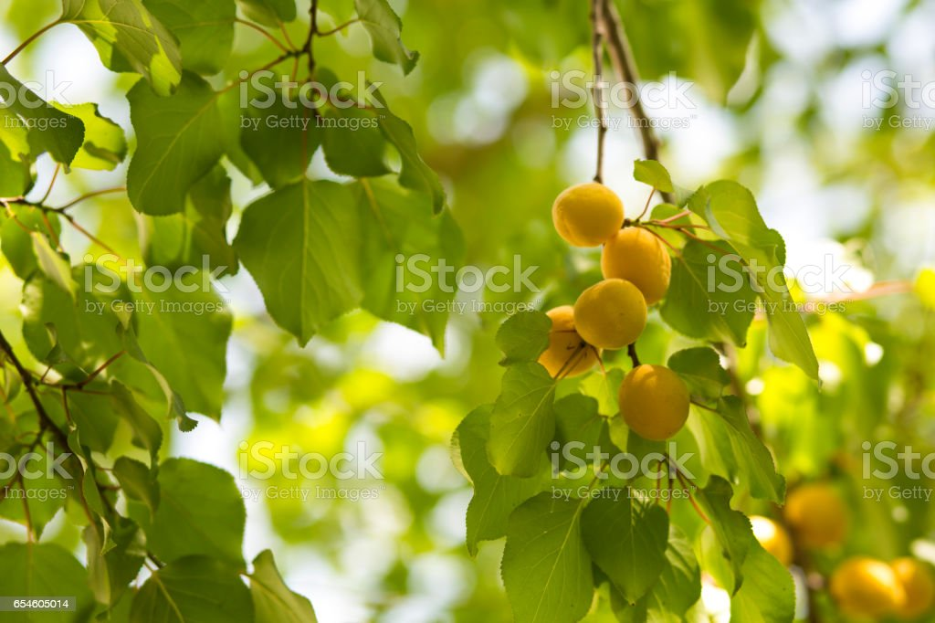Branch of an apricot tree with ripe fruits - Photo