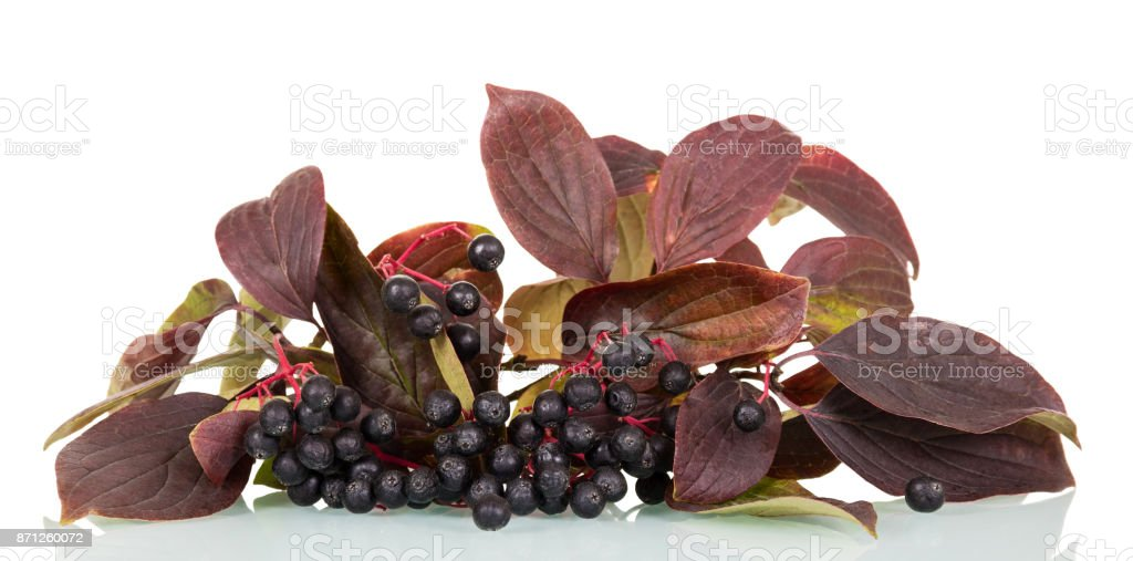 Branch of an aronia blackberry with bright leaves isolated on white stock photo