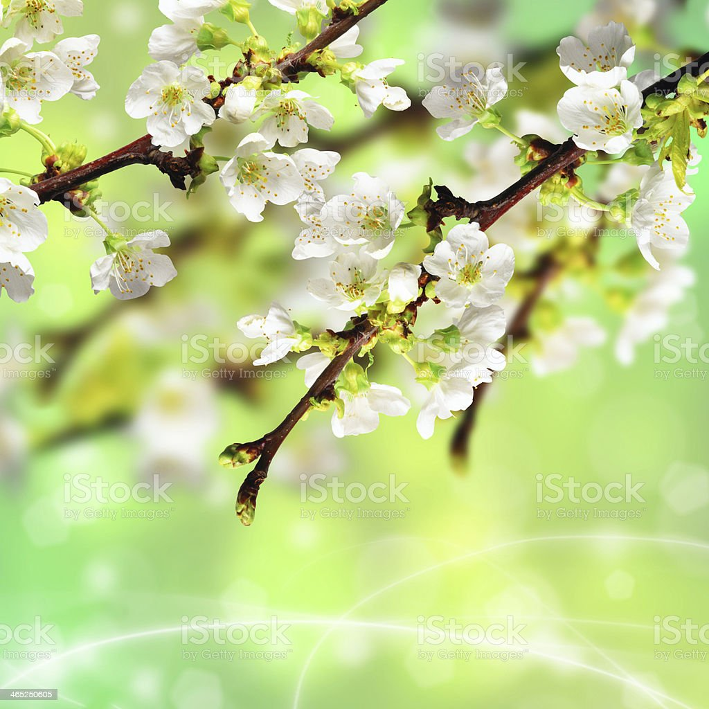 Branch of apple blossom royalty-free stock photo