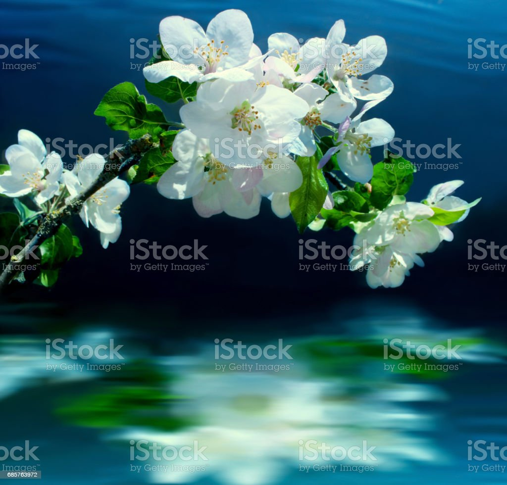 branch of Apple blossoms above the water. photo libre de droits