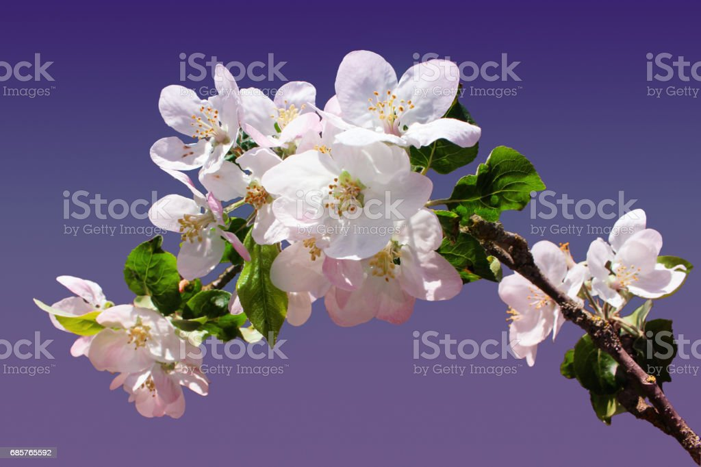 branch of Apple blossoms on a blue and purple background. royalty free stockfoto
