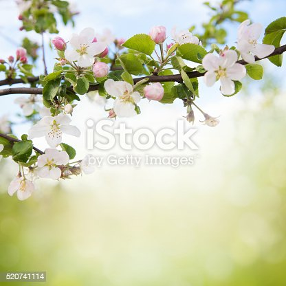 Branch of Apple blossoms on blurred background, spring time, apple blossom growing