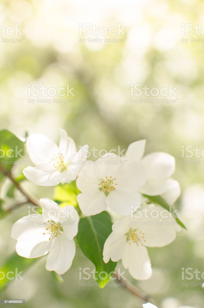 Branch of Apple blossoms stock photo
