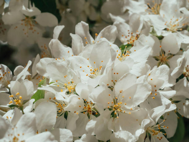 Branch of Apple blossoms, spring sunshine stock photo