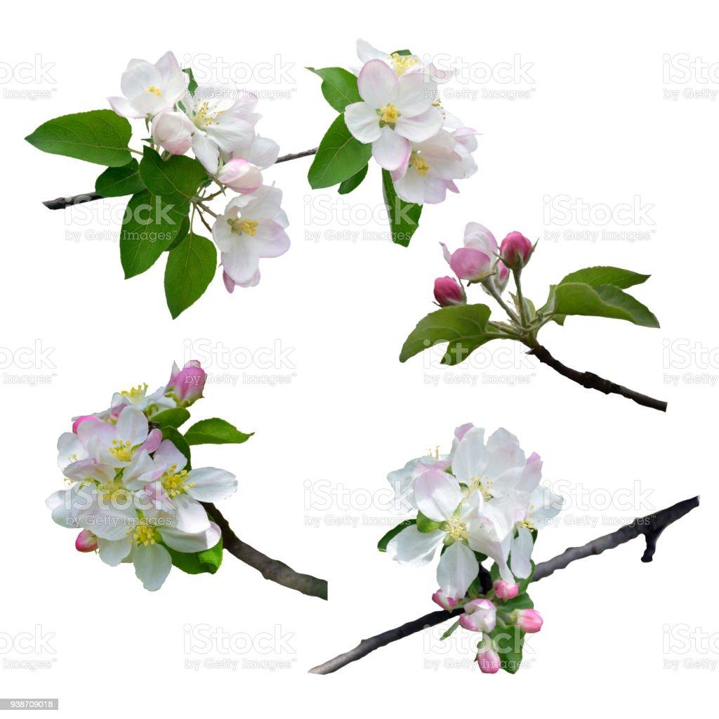 사과 꽃의 분기입니다. 사과 나무 꽃입니다. 클로즈업입니다. 그림자 없이 흰색 배경에 고립. 봄입니다. 자세하게에서 자연입니다. 세트: 애플 트리 성 황입니다. 스톡 사진