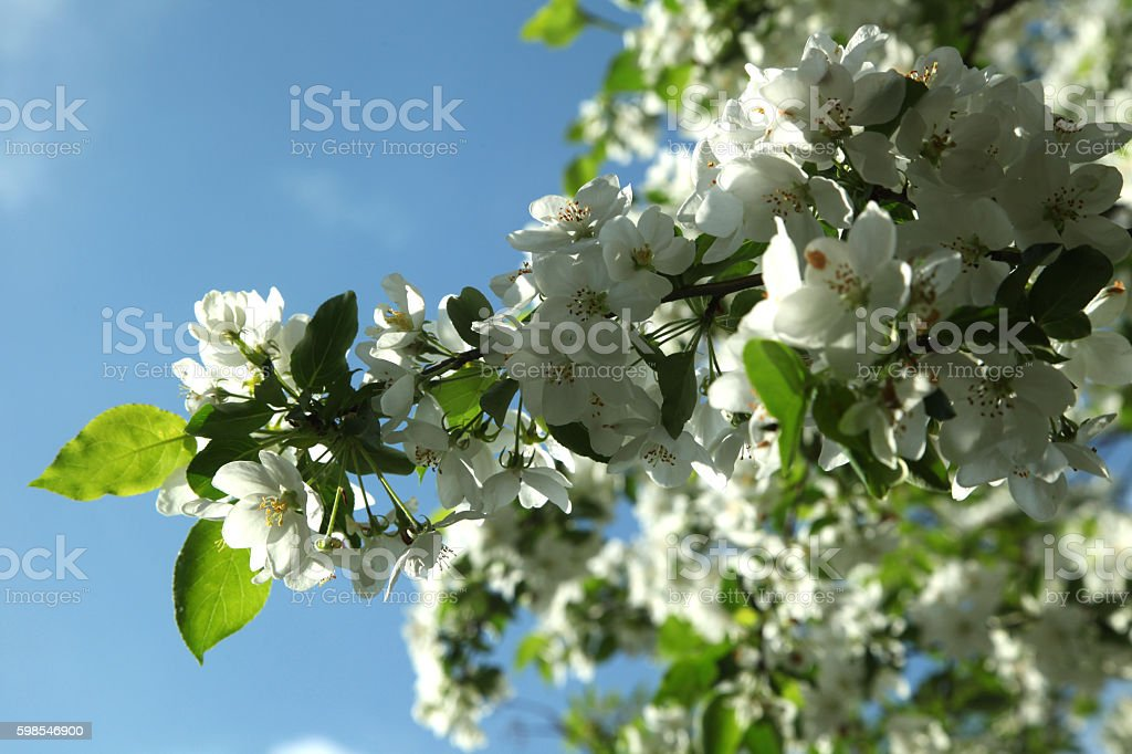 Branch of Apple tree in bloom close up photo libre de droits