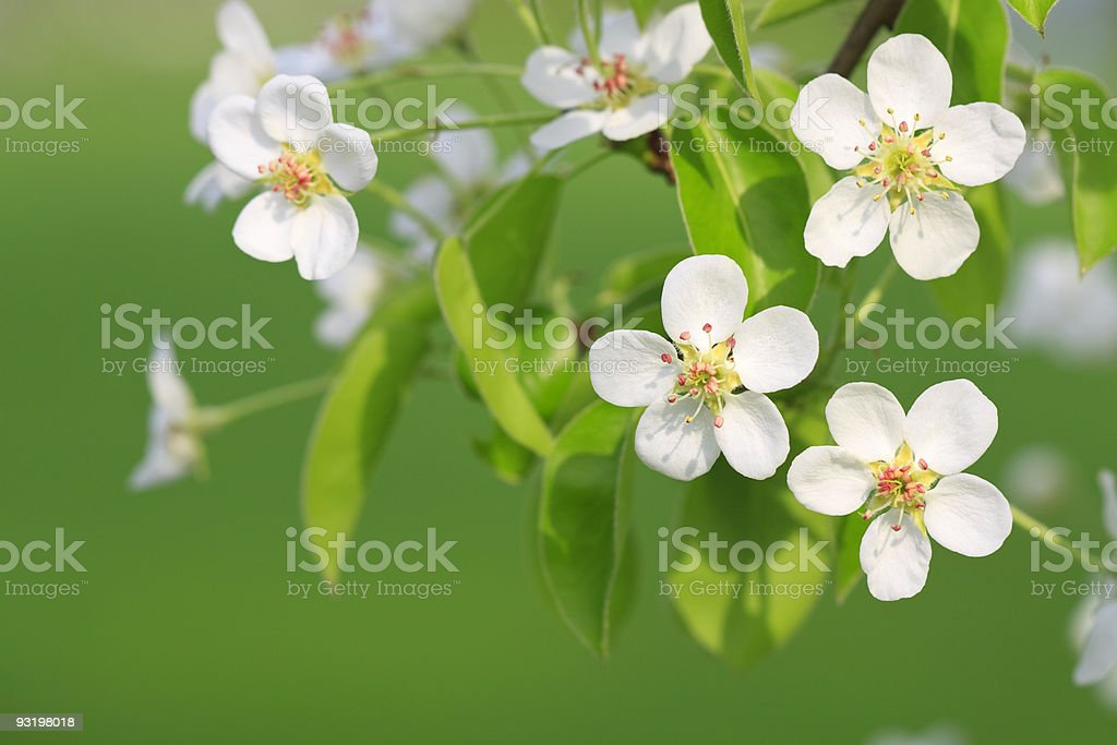 Branch of apple tree royalty-free stock photo