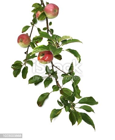 Branch of apples with leaves and fruits isolated on white background.