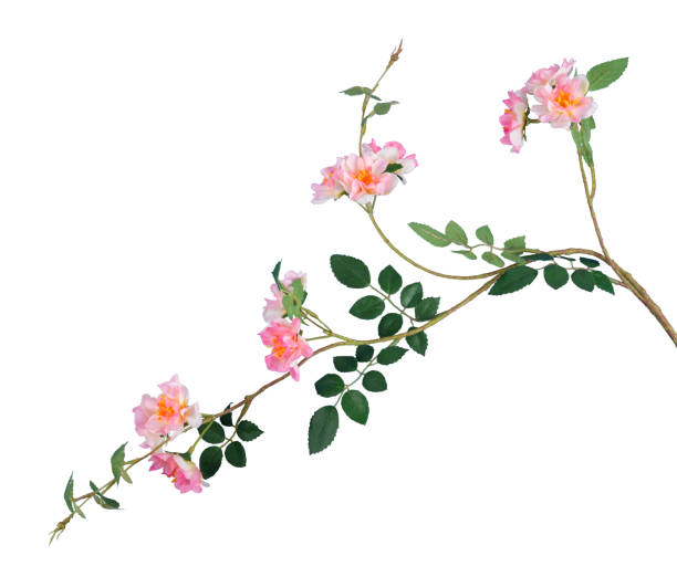branch of artificial wild roses isolated on white branch of artificial wild roses isolated on white wild rose stock pictures, royalty-free photos & images