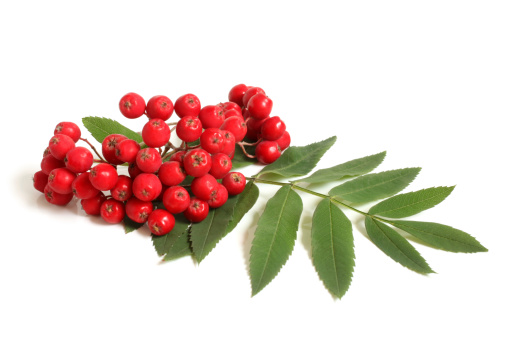 Branch of ashberry with green leaf