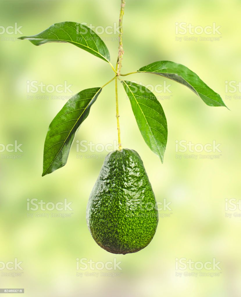 Branch of avocado stock photo