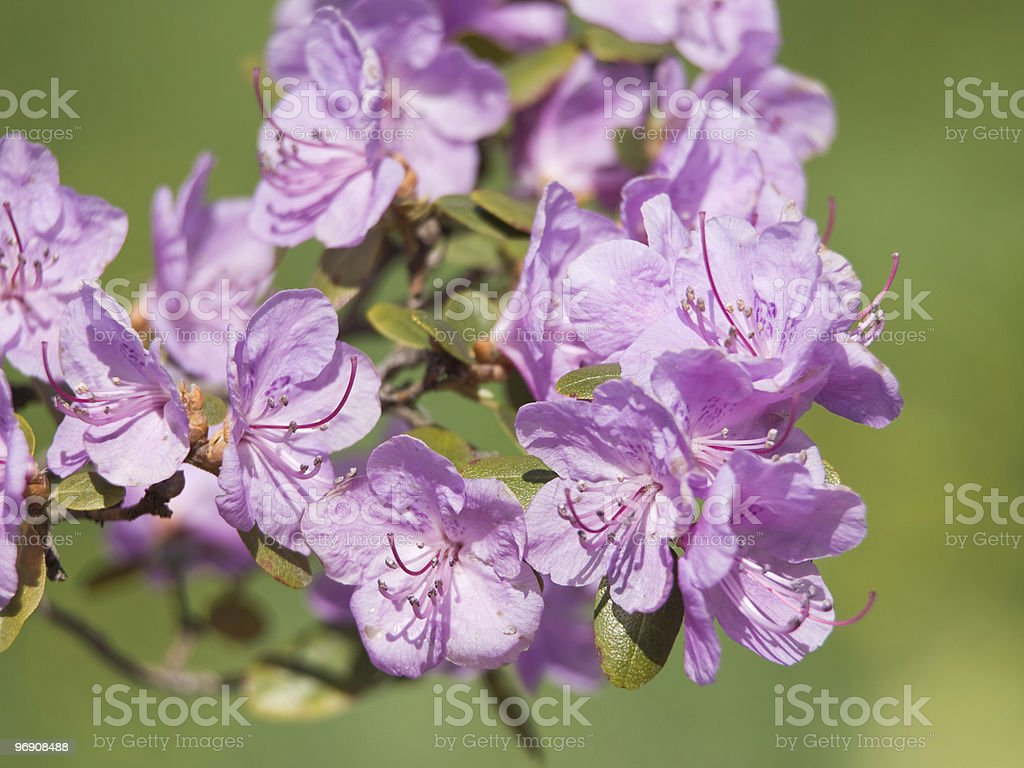 Branch of azalea with flower royalty-free stock photo