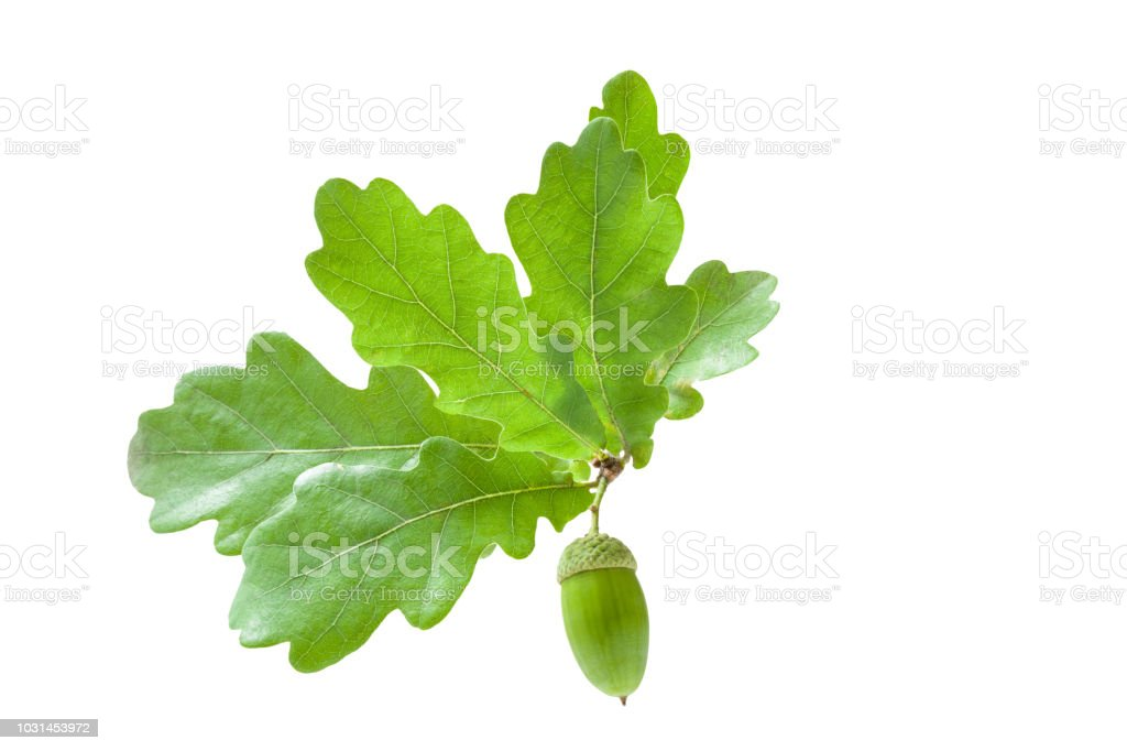 Branch of beautiful, fresh oak leaves with one green acorn isolated on white background. stock photo