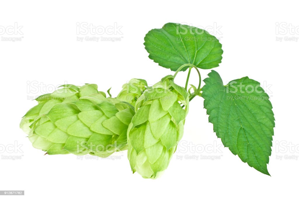 Branch of beautiful hops isolated on a white background stock photo
