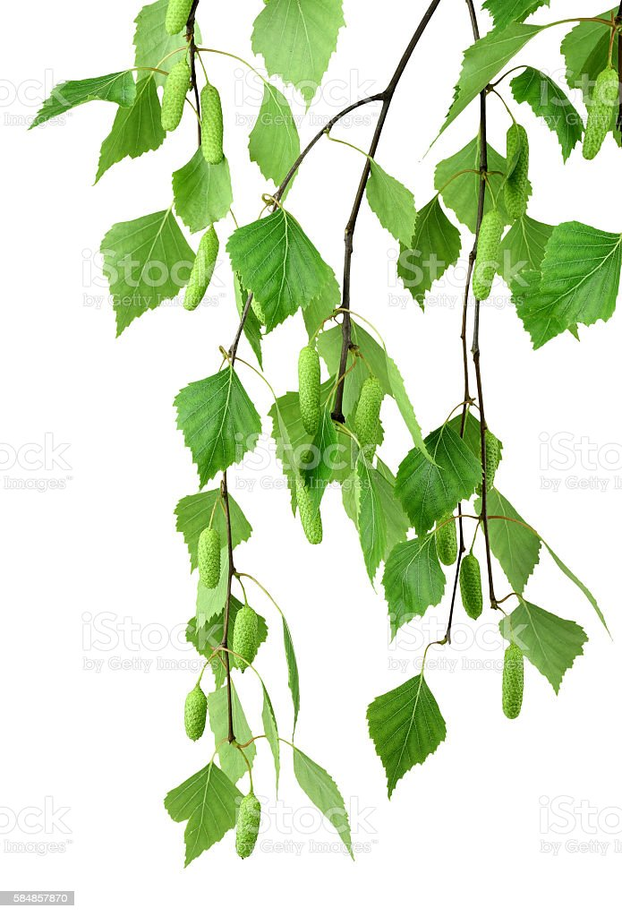branch of birch with buds and leaves , isolated without shadow. stock photo