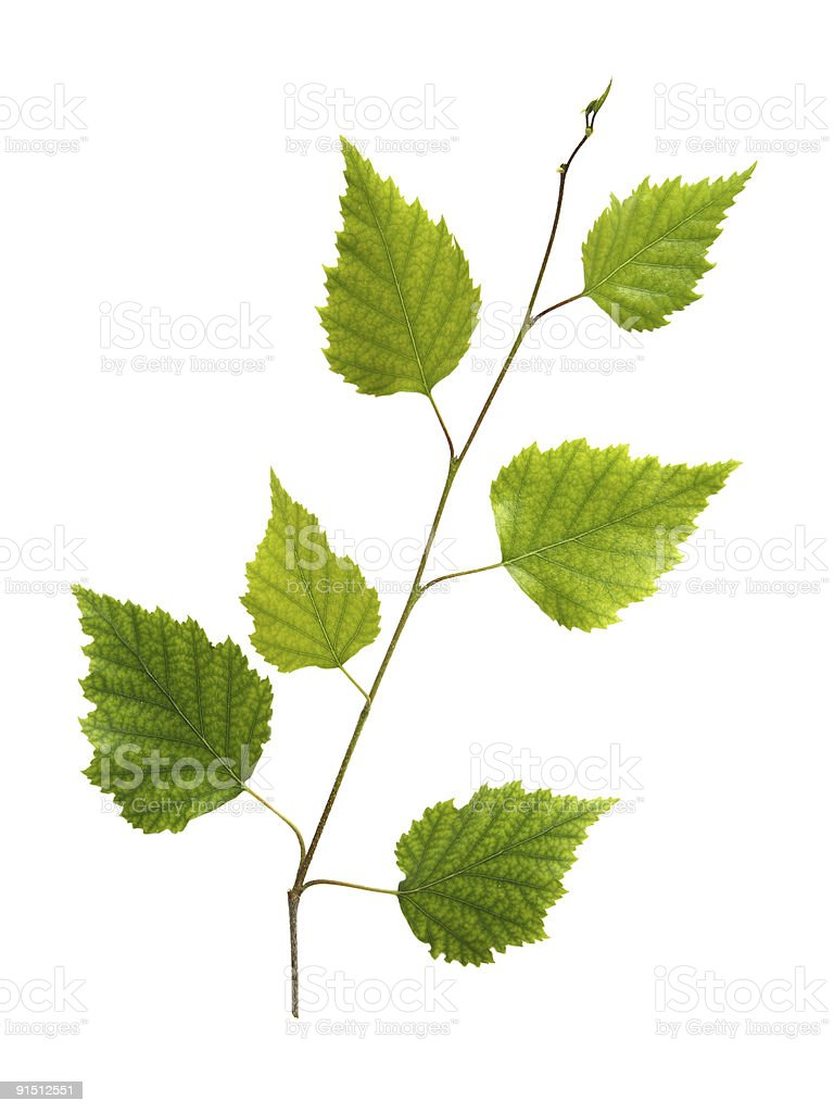 Branch of birch with young green leaves stock photo