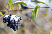 branch of black berries