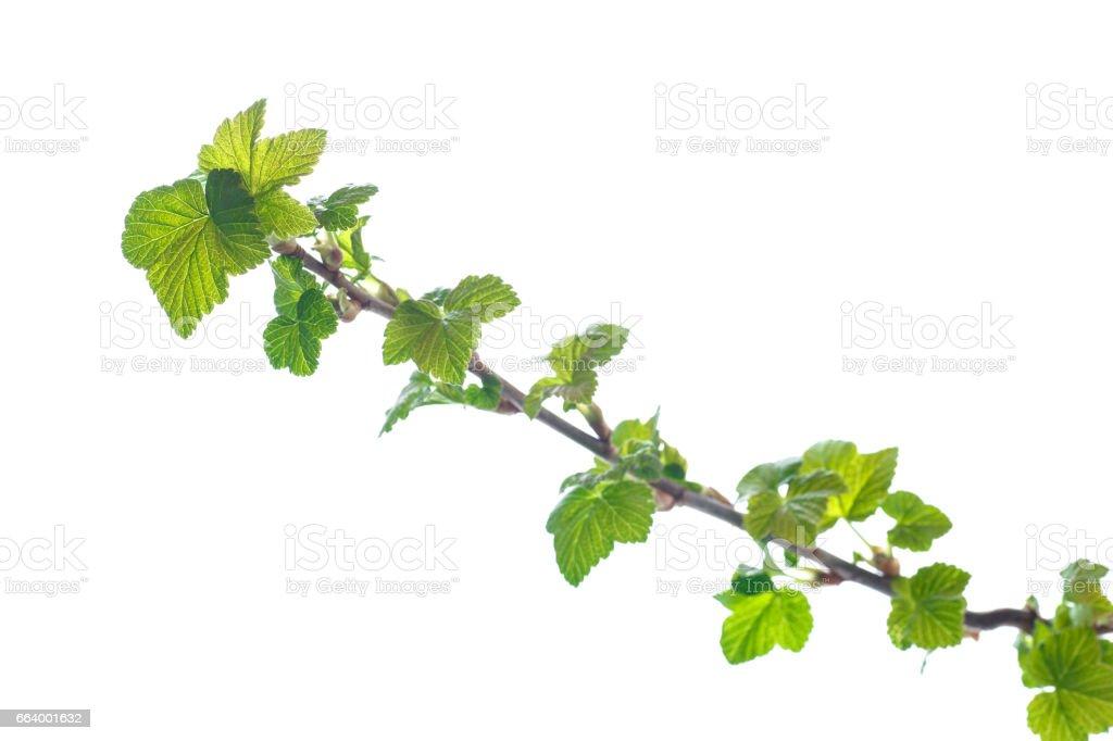 rama de la grosella negra con hojas jóvenes - foto de stock