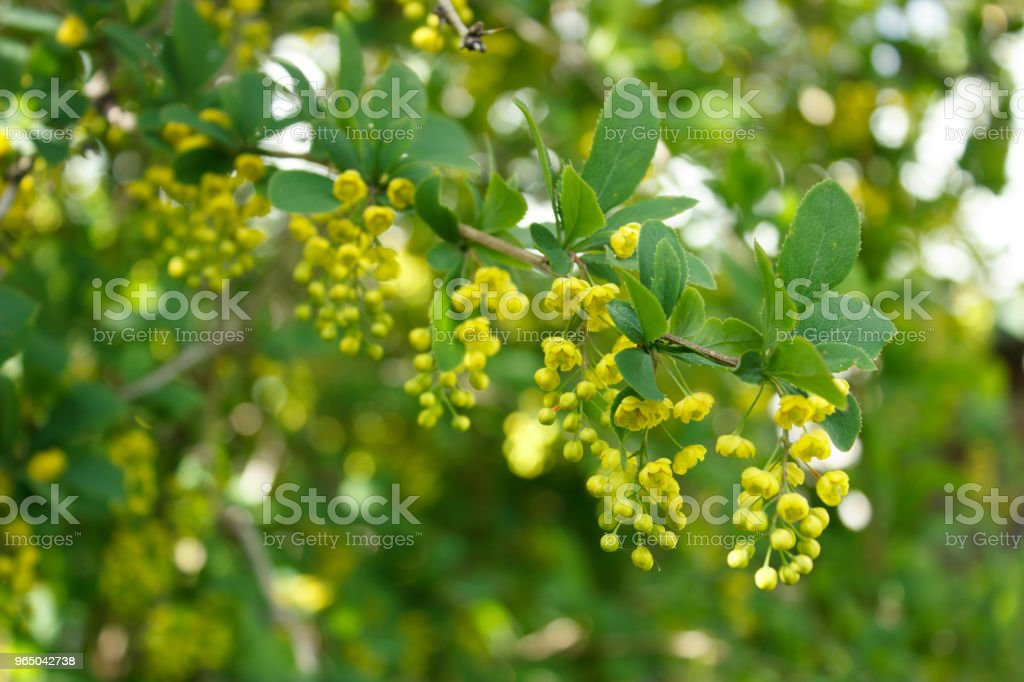 Branch of blooming barberry royalty-free stock photo