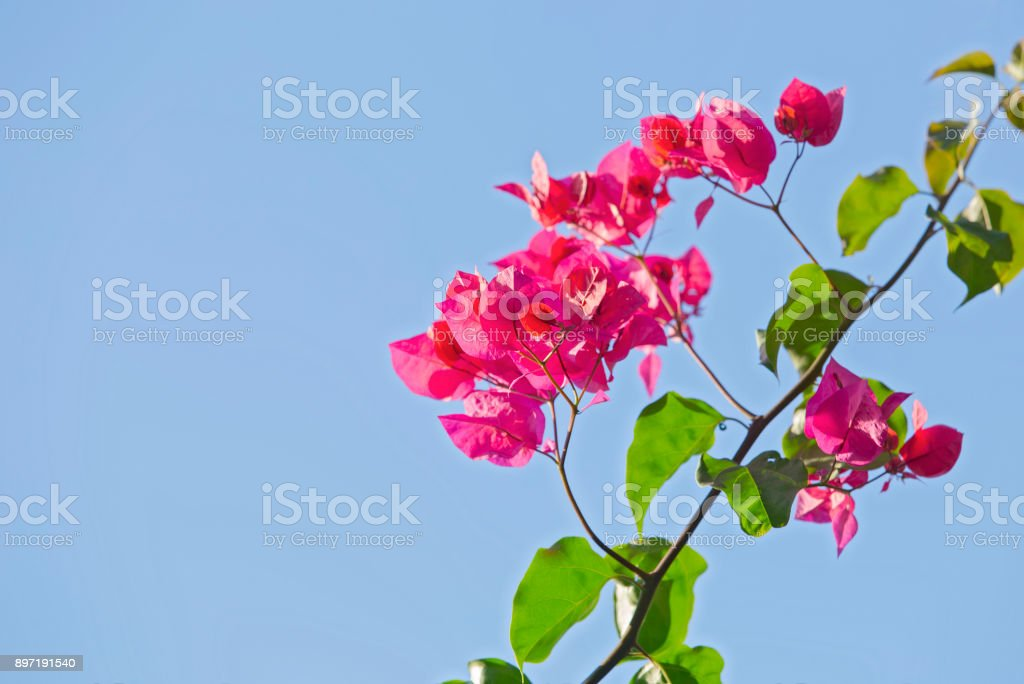 Branch of blooming bougainvillea isolated on a blue background. Pink blooming bush on the sky background stock photo